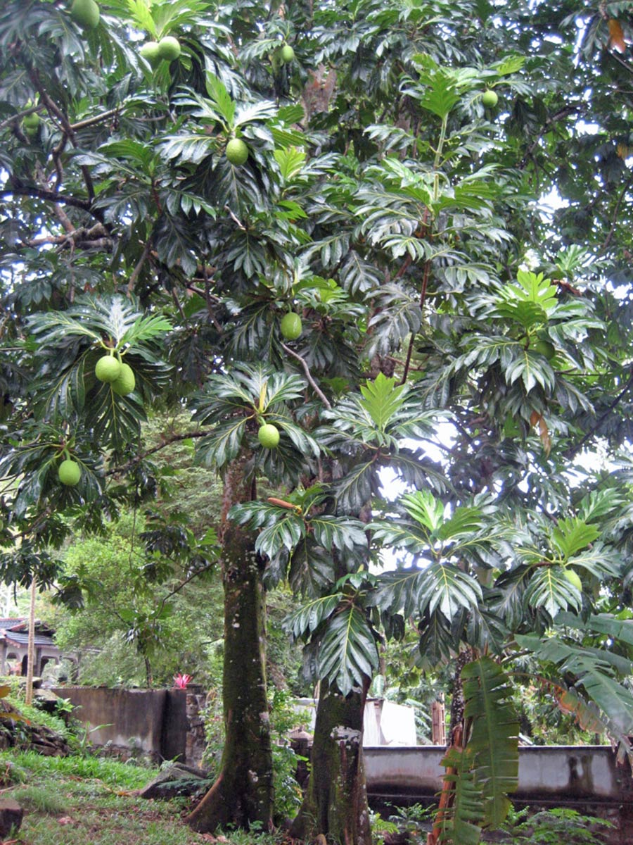 Breadfruit is a remarkable staple starch that grows on trees. This species should be much more widely grown in the humid tropics.