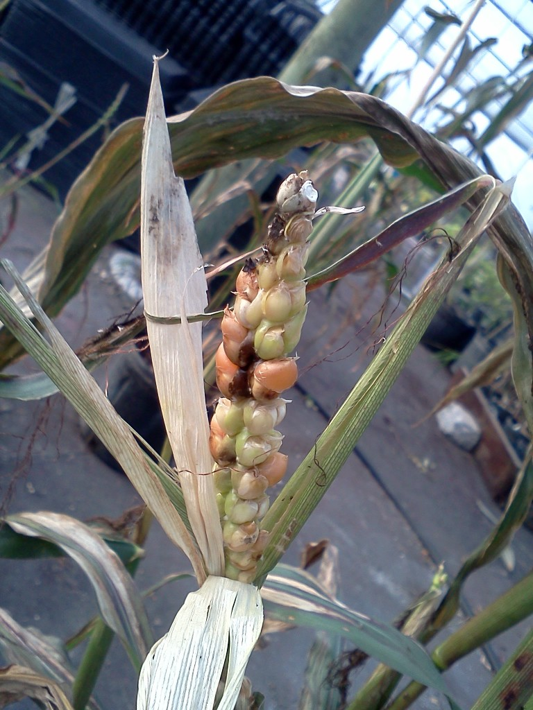 First-generation cross of annual corn and diploid perennial teosinte. Photo (and breeding) courtesy Craig Hepworth.