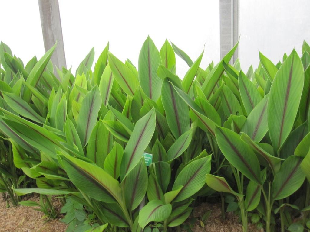 curcuma zedoaria1