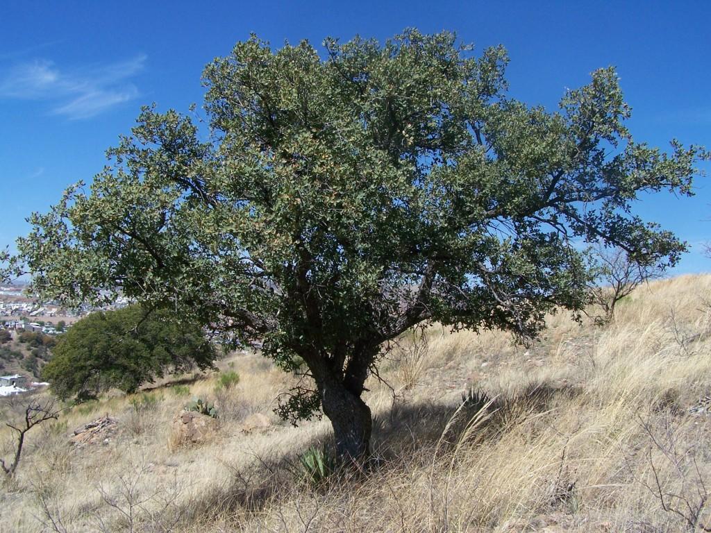 Quercus_emoryi_(2008)