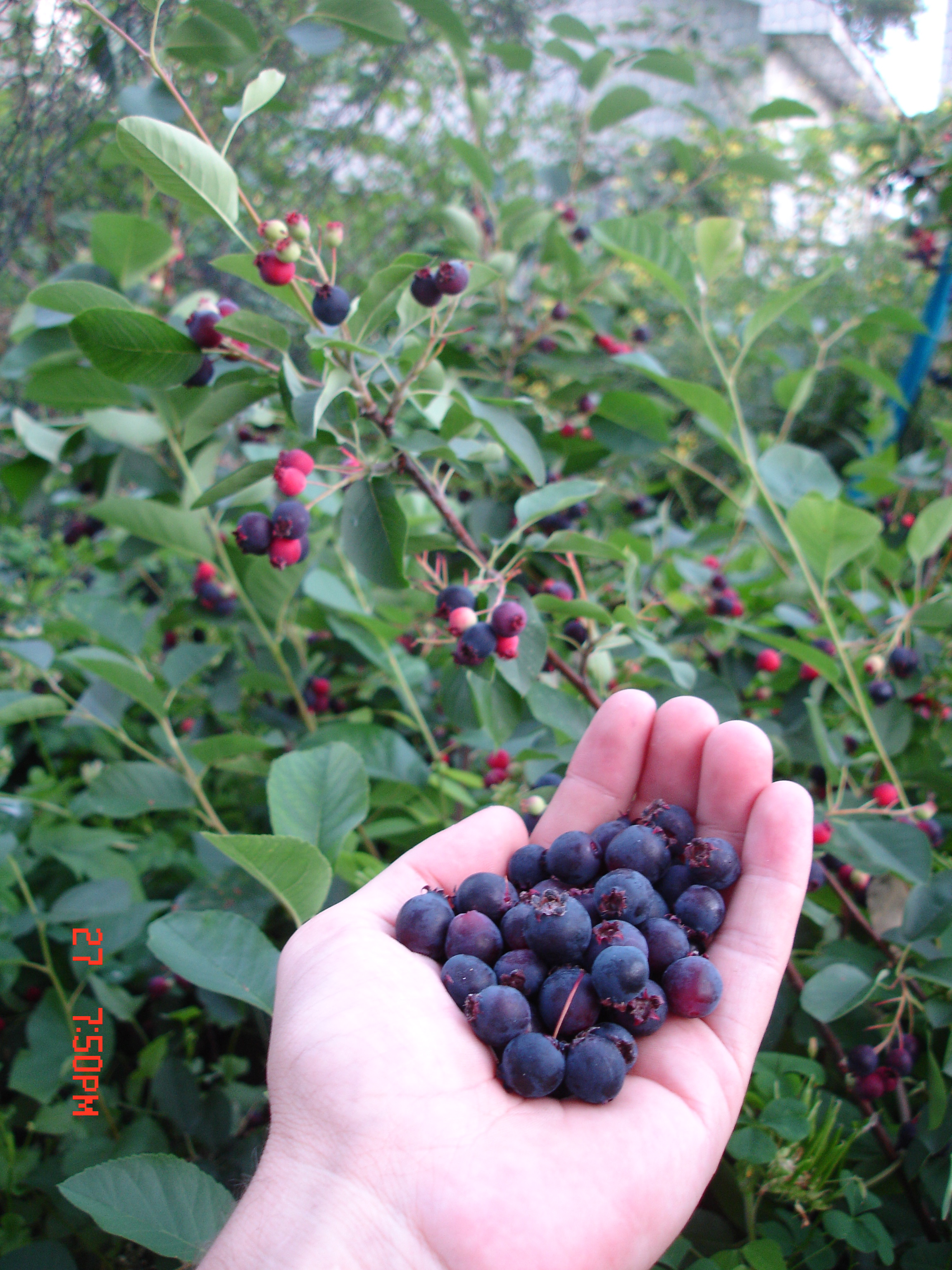 Summer Berries In A Humid Cold Temperate Climate Eric