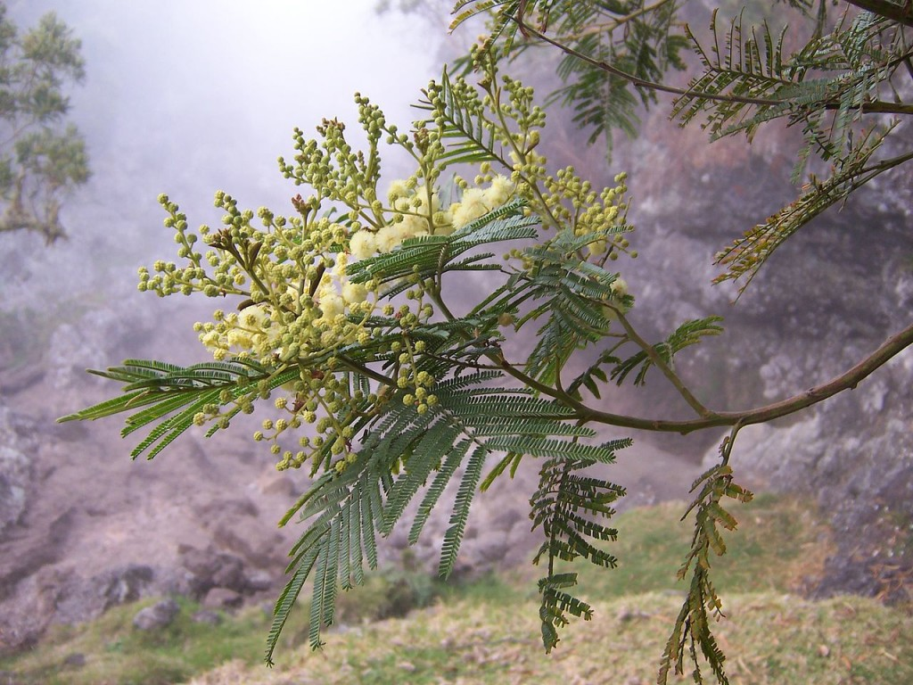 1280px-Acacia_mearnsii_flowers