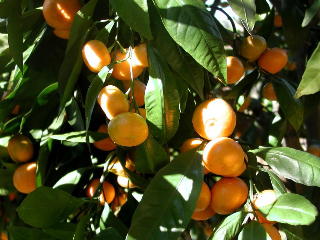 Mandarin_tree_closeup
